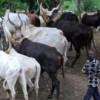 Establishment Of Cattle Colonies Across Nigeria Starts Next Week